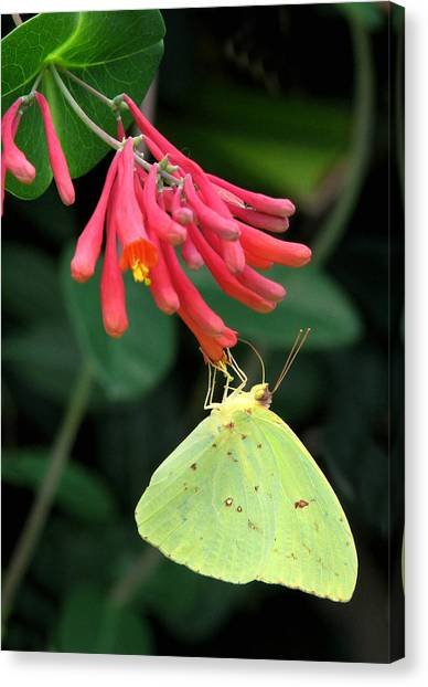 Sulfur Butterfly Canvas Print - Honeysuckle Delight by Peg Urban