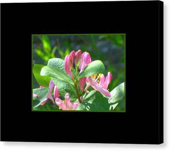 Honeysuckle Pink Photograph Canvas Print by Gretchen Wrede