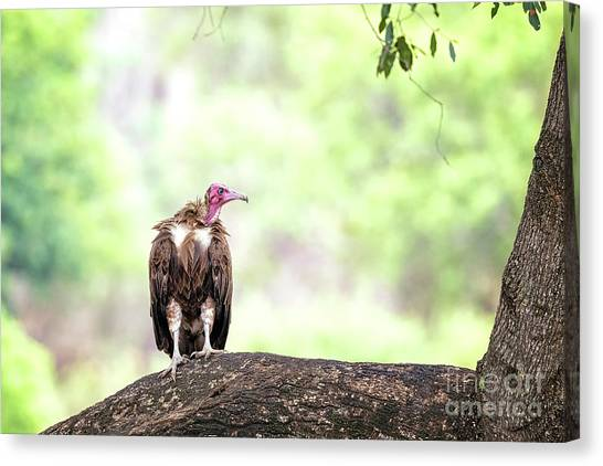 Vultures Canvas Print - Hooded Vulture by Jane Rix