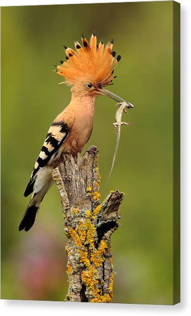 Lizards Canvas Print - Hoopoe With Lizard by Andres Miguel Dominguez