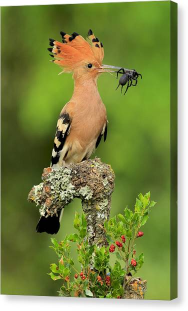 Spiders Canvas Print - Hoopoe With Spider by Andres Miguel Dominguez