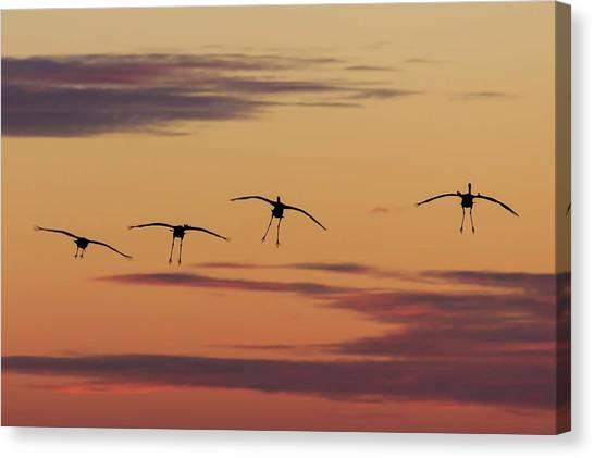 Horicon Marsh Cranes #4 Canvas Print