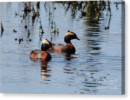 Horned Grebe Couple Canvas Print