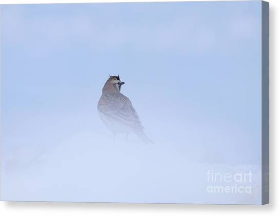 Horned Lark Canvas Print