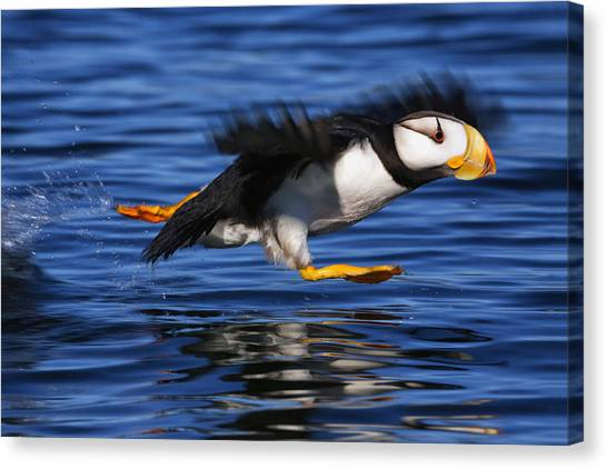 Flight Canvas Print - Horned Puffin  Fratercula Corniculata by Marion Owen
