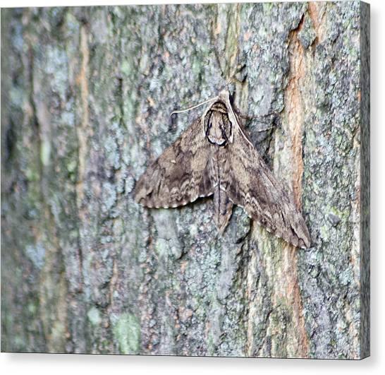 Hornworm Moth Canvas Print