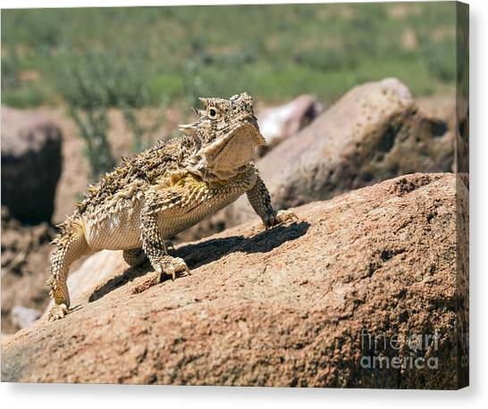 Horny Toad Canvas Print