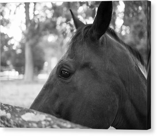 Horse At Fence Canvas Print