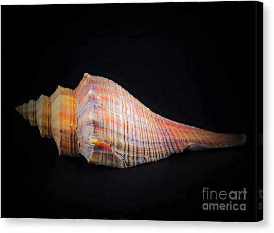 Horse Conch Canvas Print