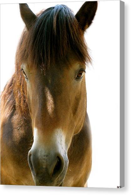 Horse Of Course Canvas Print