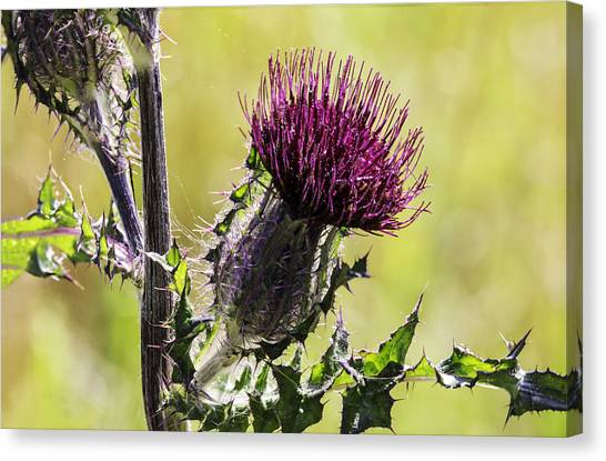 Horse Thistle 01 Canvas Print