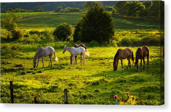 Horses Grazing In Evening Light Canvas Print