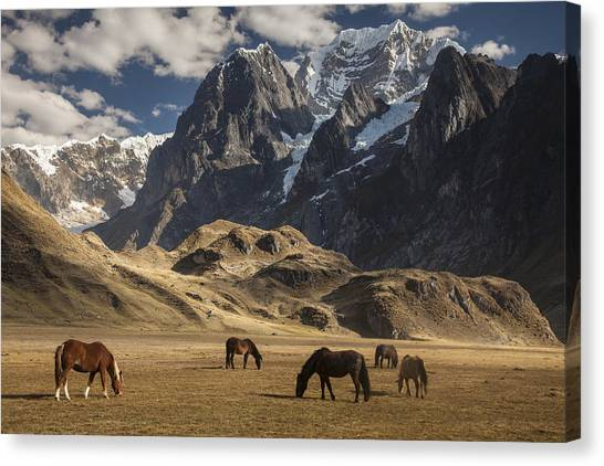 Animal Behaviour Canvas Print - Horses Grazing Under Siula Grande by Colin Monteath