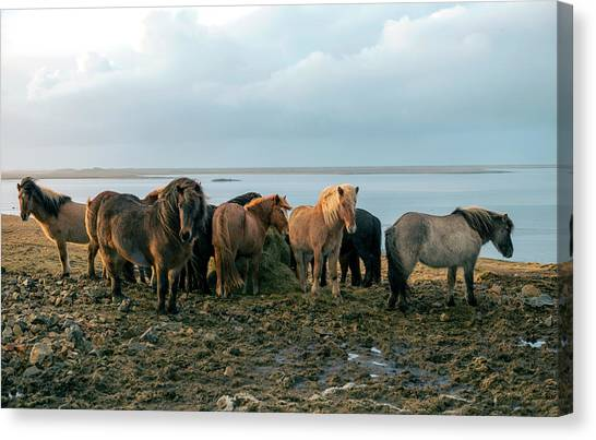 Horses In Iceland Canvas Print