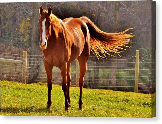 Horse's Tail Canvas Print