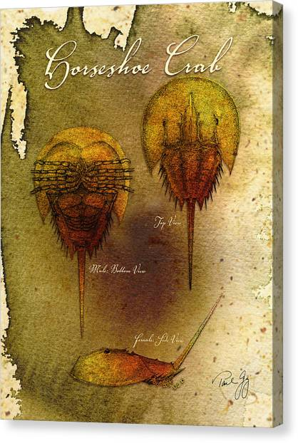 Horseshoe Crab Canvas Print