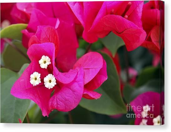 Hot Pink Bougainvillea Canvas Print