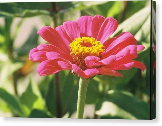Hot Pink Flower In Frankemuth Michigan Canvas Print by Cheryl Martin