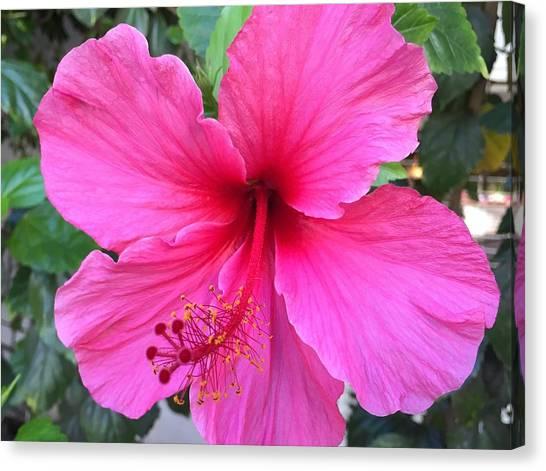 Hot Pink Hibiscus  Canvas Print