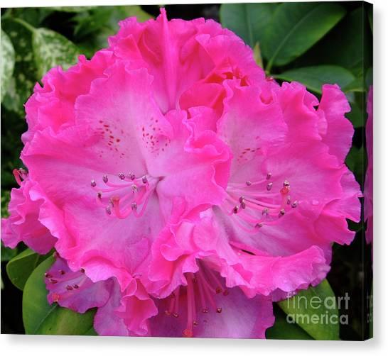 Hot Pink Rhoda Canvas Print