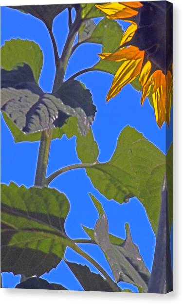 Hot Sunflower Canvas Print by Leslie-Jean Thornton