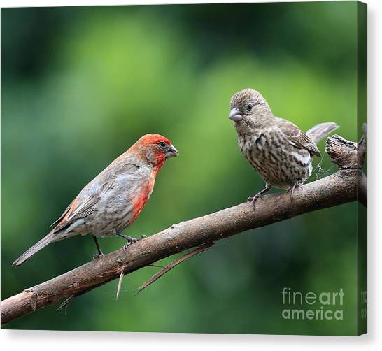 House Finch Courtship Canvas Print by Wingsdomain Art and Photography