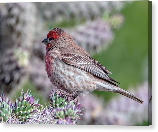 House Finch Male Canvas Print