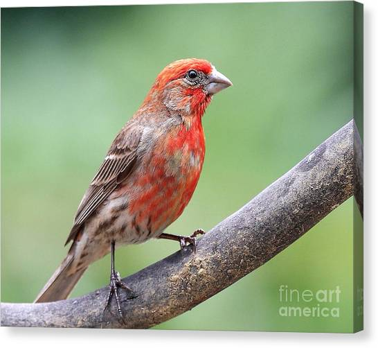 House Finch Canvas Print by Wingsdomain Art and Photography
