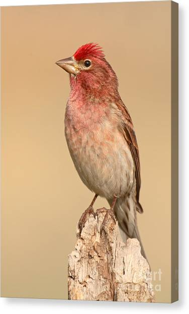 House Finch With Crest Askew Canvas Print