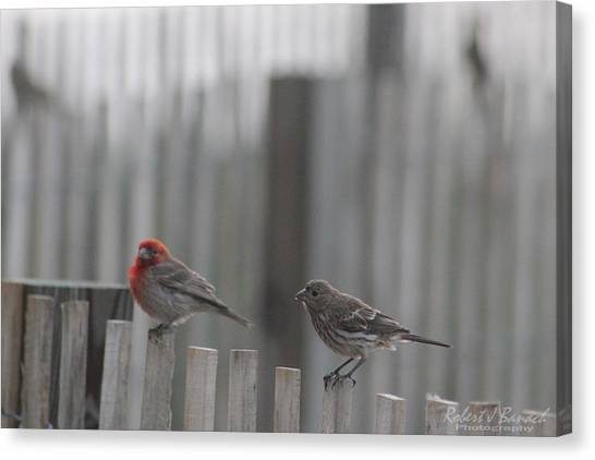 House Finches On The Fence Canvas Print