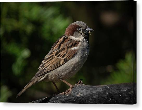 House Sparrow 2 Canvas Print