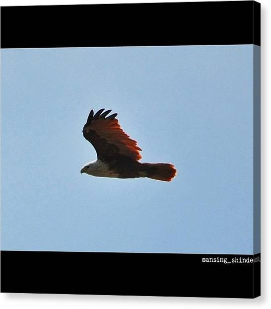 Trucks Canvas Print - Hovering Above- Brahminy Kite by Indian Truck Driver