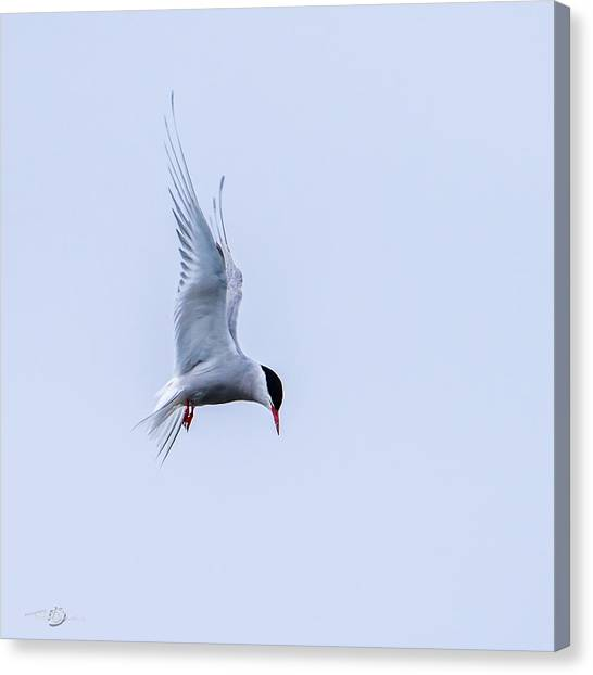 Hovering Arctic Tern Canvas Print
