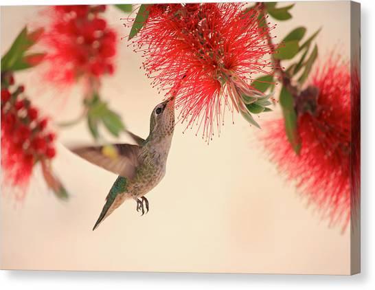 Hovering Hummingbird Canvas Print