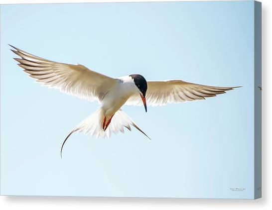 Hovering Tern Canvas Print