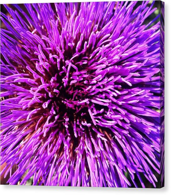 Artichoke Canvas Print - Very Purple by Catherine Davies