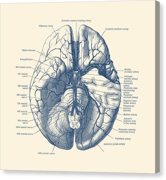 Antique Anatomy Drawings Canvas Prints Fine Art America