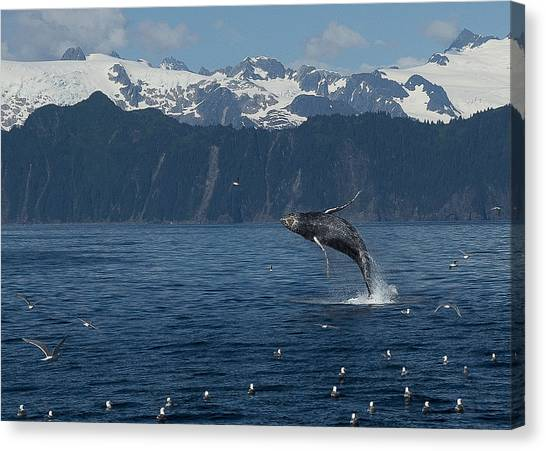 Humback Whale Arching Breach Canvas Print