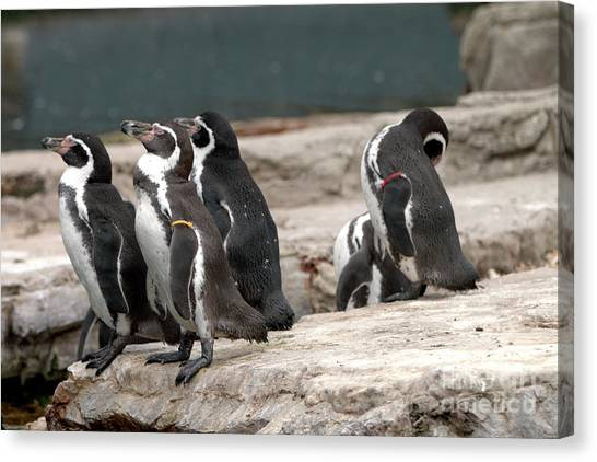 Humboldt Penguins Canvas Print