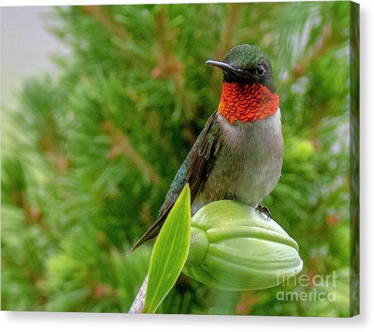 Canvas Print featuring the photograph Hummer by Ron Sadlier