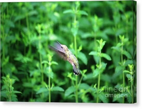 Canvas Print - Humming Bird In Flight by Nick Gustafson