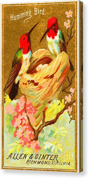 Humming Bird Victorian Tobacco Card By Allen And Ginter Canvas Print