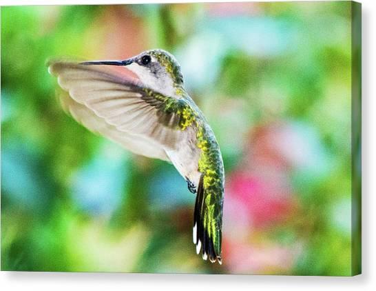 Hummingbird 06 - 9-13 Canvas Print by Barry Jones