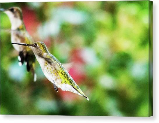 Hummingbird 07 - 9-13 Canvas Print by Barry Jones
