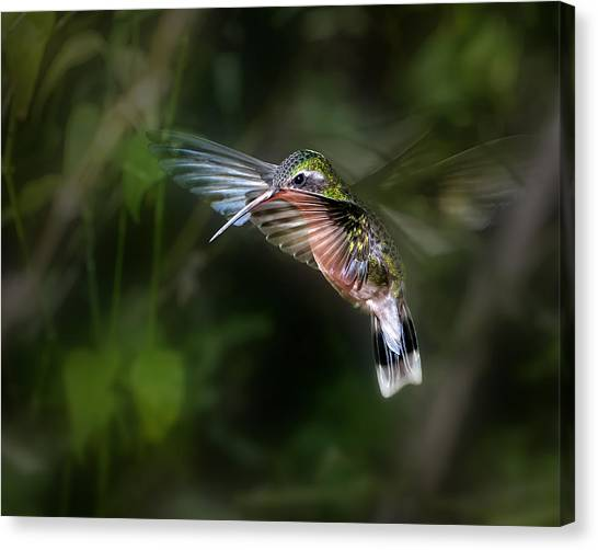 Small Birds Canvas Print - Hummingbird 1b by Leigh Pelton