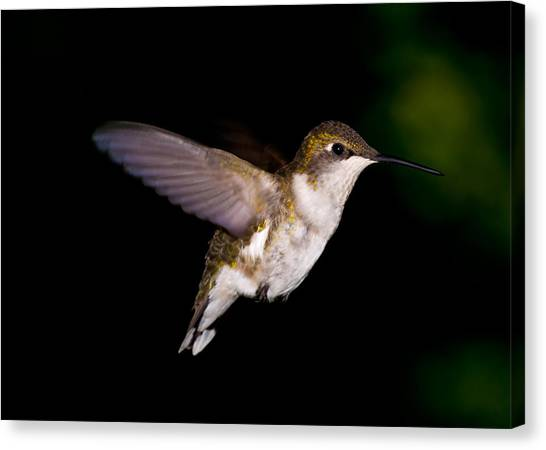 Hummingbird 3 Canvas Print by Edward Myers