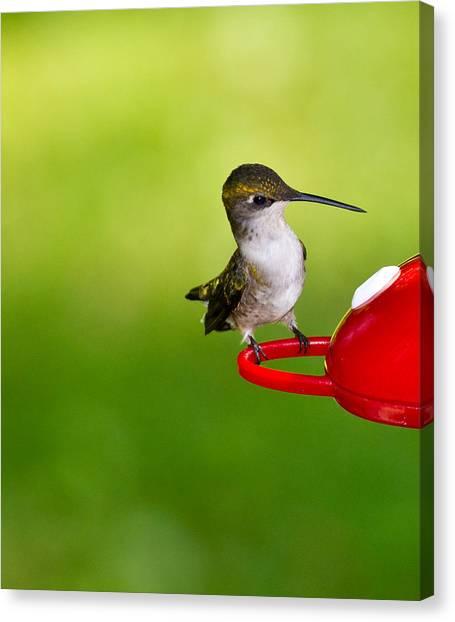 Hummingbird 4 Canvas Print by Edward Myers