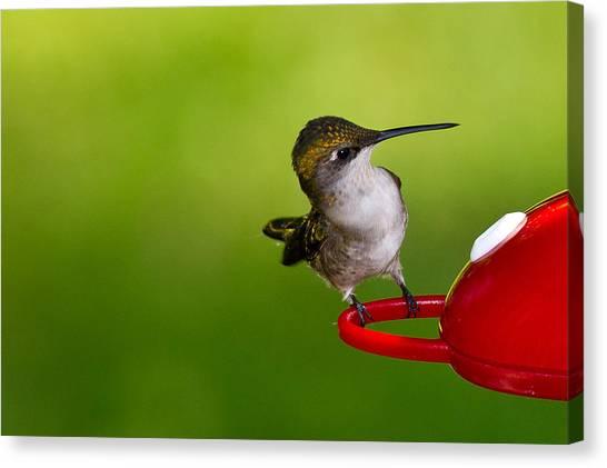 Hummingbird 5 Canvas Print by Edward Myers