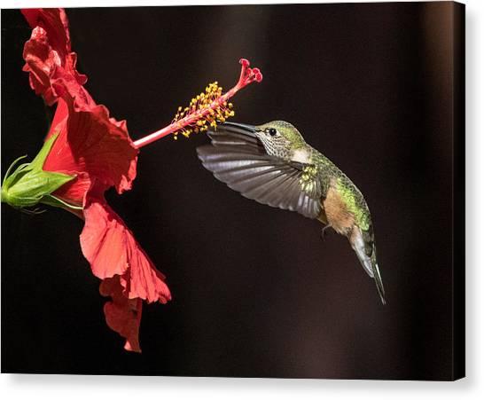 Hummingbird And Hibiiscus Canvas Print