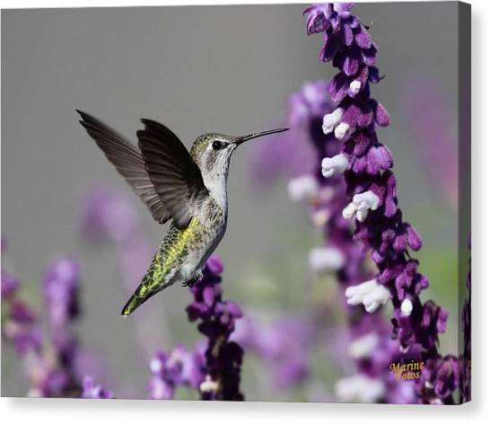 Hummingbird And Purple Flowers Canvas Print